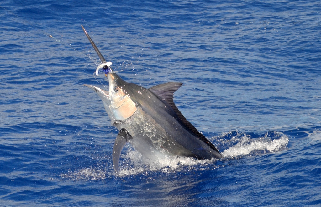 Mauritius Black Marlin - Photo by Mickael Lafraisiere