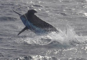 2013 Billfisheries of the Year – #2 Cape Verde Islands