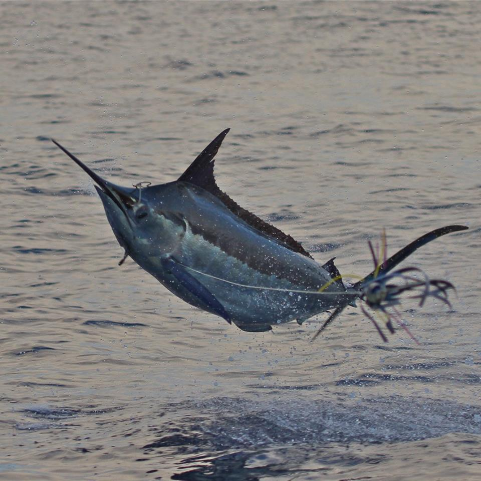 Blue Marlin - Capt. Joe Thrasher