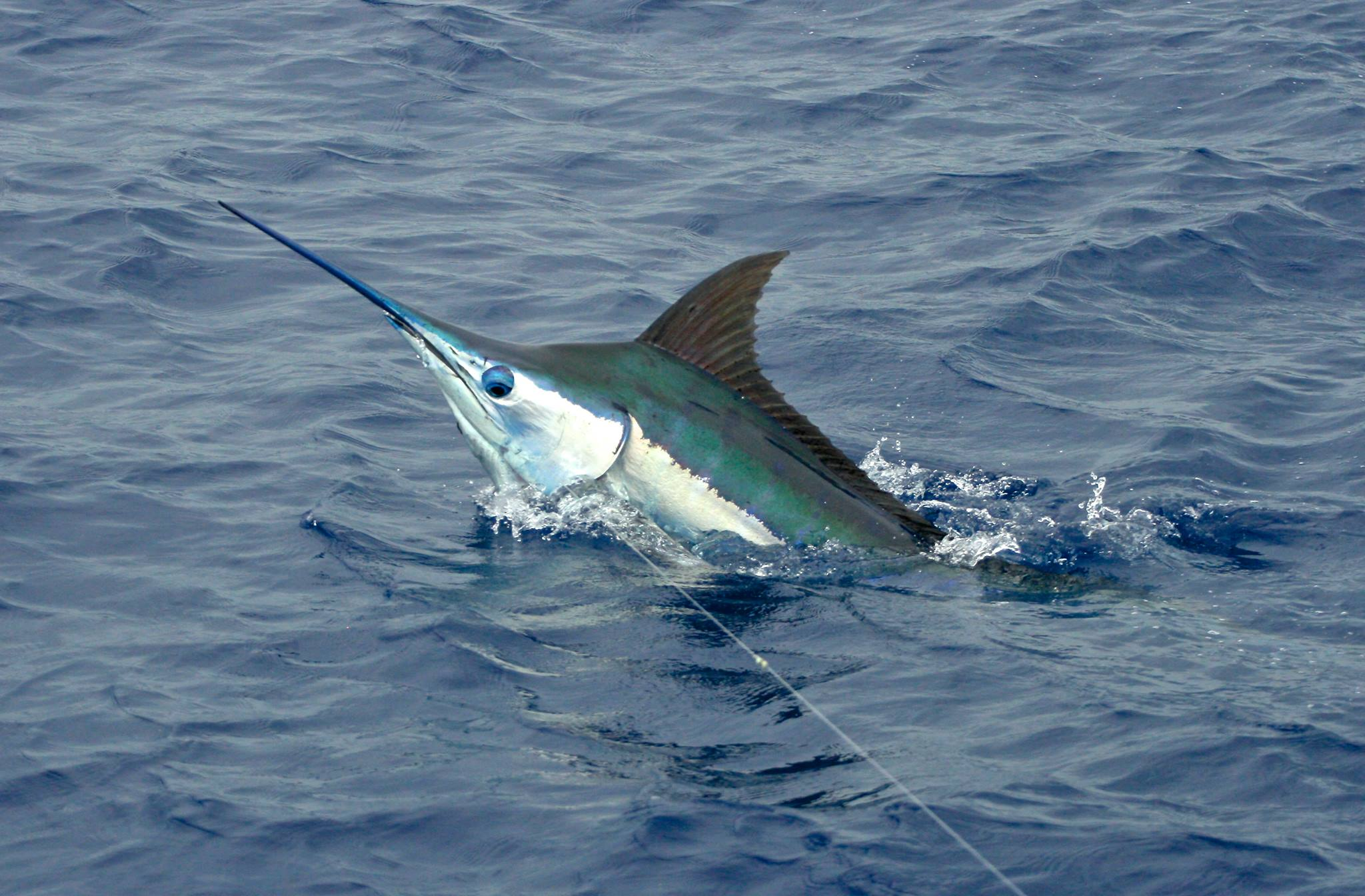 marlin - photo #11