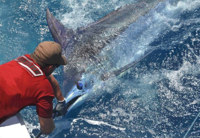 750 lbs. Blue Marlin on Amelia