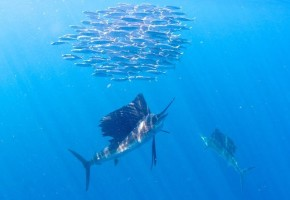 Slow Sailfishing in Isla Mujeres?