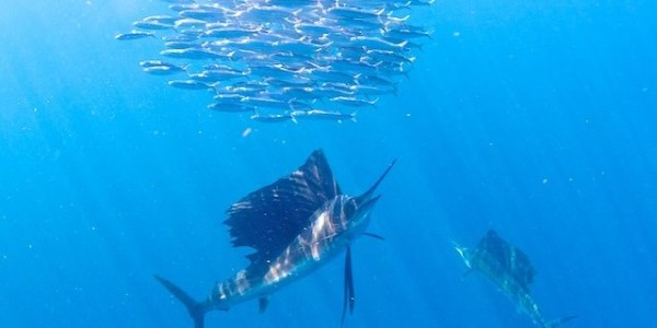 Sailfish shot from Pat Ford on the Swordfish