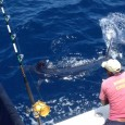 Blue Marlin on Simba