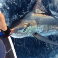 Large Striped Marlin on Intruder
