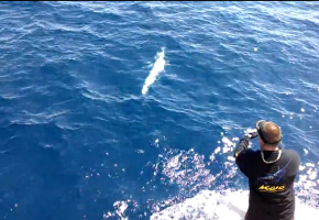Albino Blue Marlin Video