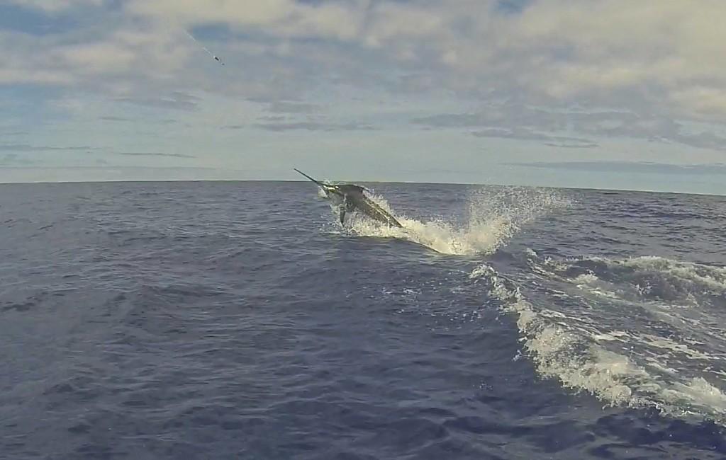 Blue Marlin on the Amelia