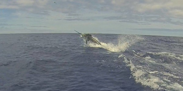 Blue Marlin on the Amelia