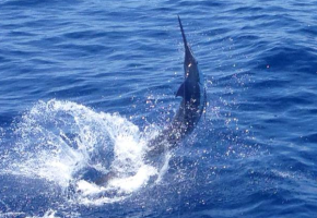 Blue Marlin Run off Los Suenos