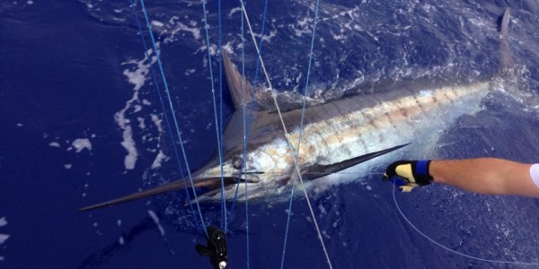 600 lbs. Blue Marlin on Mako