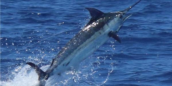 Blue Marlin on Bwana