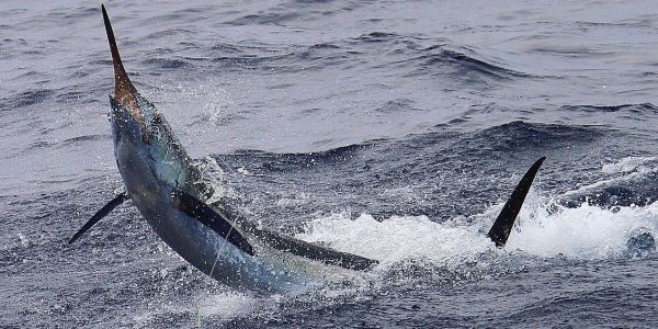 Sailfish on Decisive