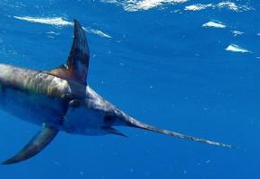 2014 Billfisheries of the Year – #8 South Florida & Keys
