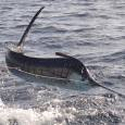 Sailfish - Spanish Fly