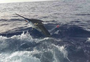 2014 Billfisheries of the Year – #10 Canary Islands