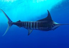 2014 Billfisheries of the Year – #6 Dominican Republic