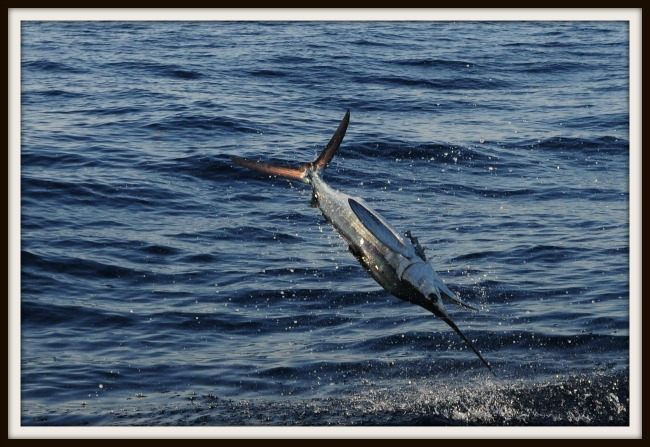 White Marlin Bill Pino 1