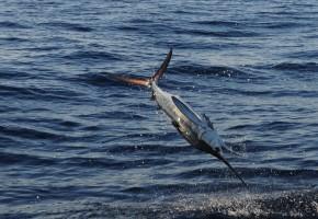 2014 Billfisheries of the Year – #9 U.S. Mid-Atlantic