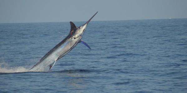 Blue Marlin on Anxious