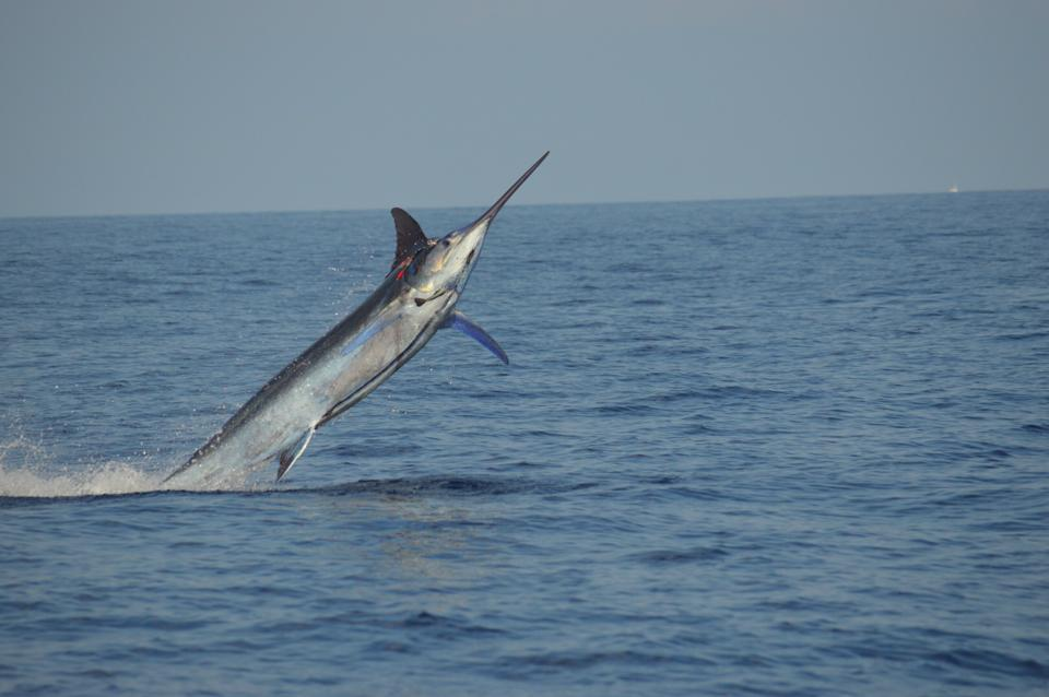 2014 Billfisheries of the Year – #7 Kona, Hawaii