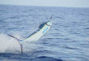 2014 Billfisheries of the Year – #1 Jaco & Quepos