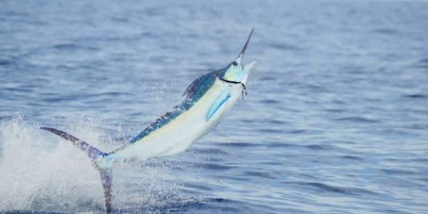 Blue Marlin on Parranda