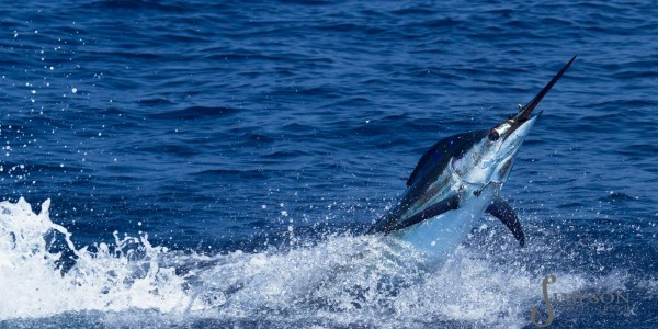 Blue Marlin - Stuart Simpson