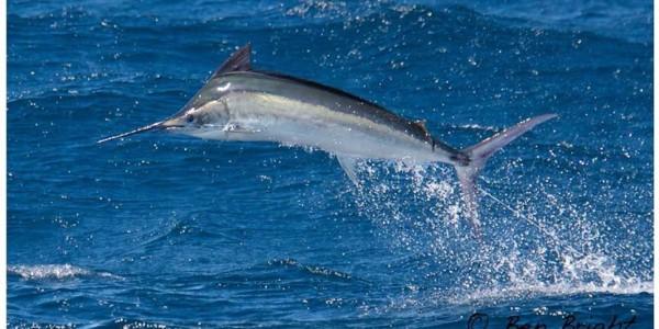 Black Marlin on Haven - Ben Bright