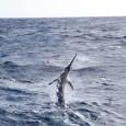Blue Marlin on Contango