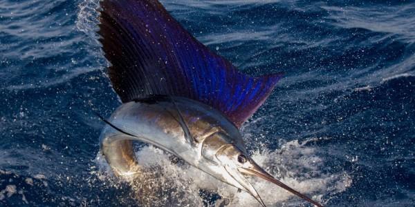 Sailfish on Fish Tank  - Chris Jessen