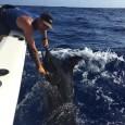 Blue Marlin on Ocean Instinct