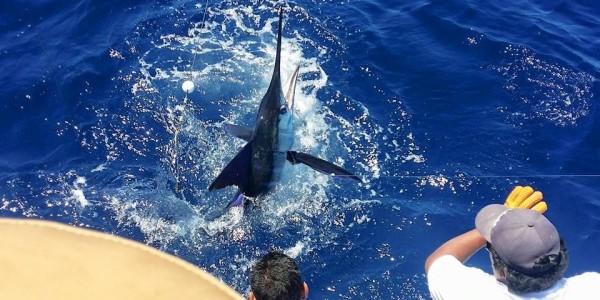 Striped Marlin on Go Deep