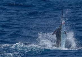 Cape Verdes Starts BIG