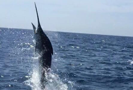 BLUE MARLIN ON LEGACY