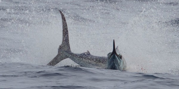 Blue Marlin on Marlin Magic II