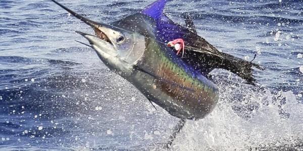 Sailfish on Rum Line