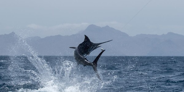 Blue Marlin - Stuart Simpson