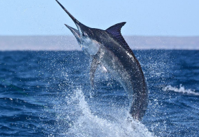 2015 Billfisheries of the Year – #6 Exmouth