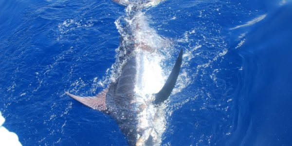Blue Marlin on Our Mary