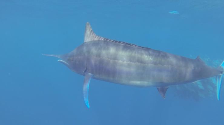 Black Marlin in the Atlantic