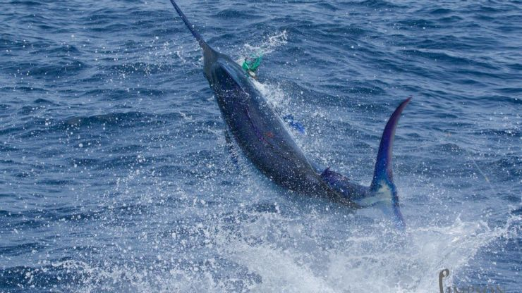 2016 Billfisheries of the Year – #3 Cape Verdes