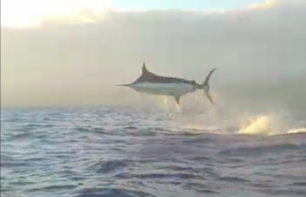 Massive Blue Marlin Takes Flight