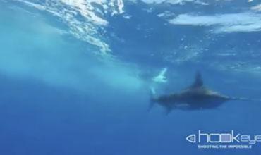 Brazilian Blue Marlin