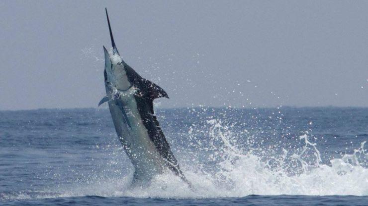 2017 Billfisheries of the Year – #8 Kona