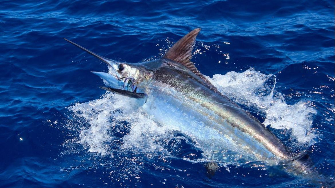 2019 Billfisheries of the Year – #7 Grand Canary