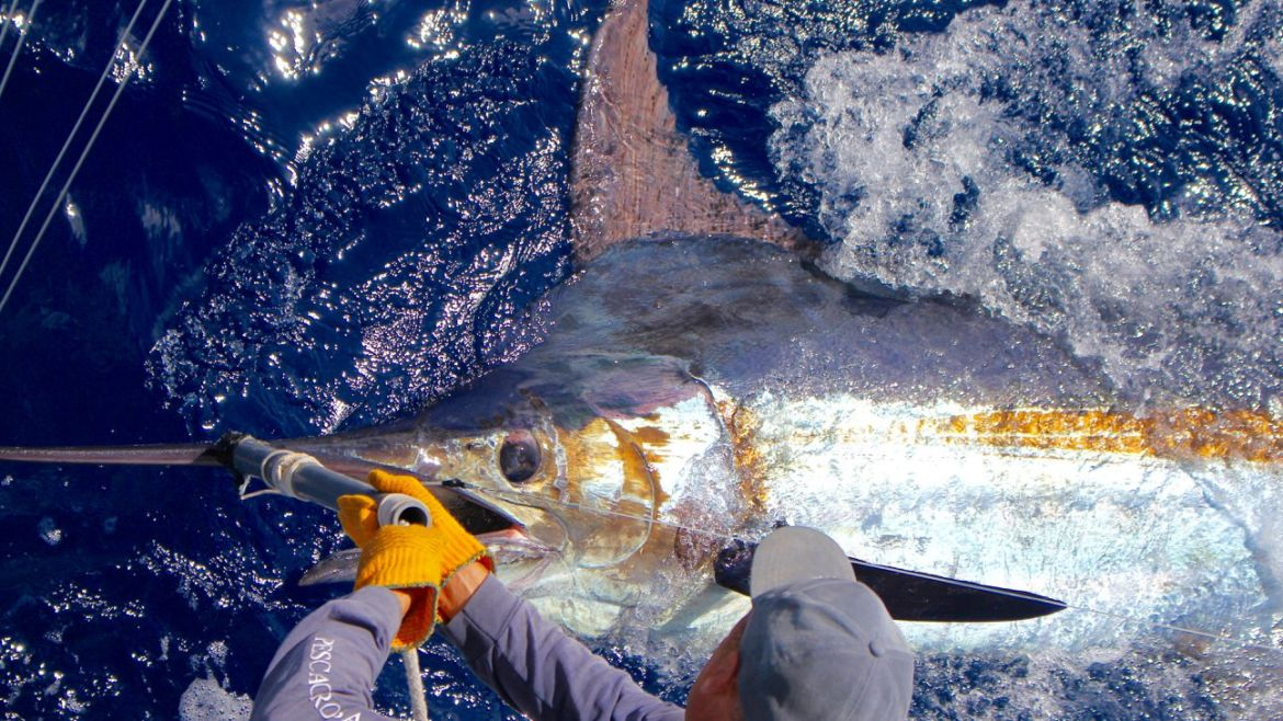 2019 Billfisheries of the Year – #5 Madeira