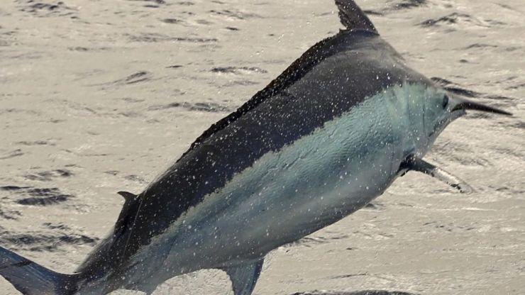 2019 Billfisheries of the Year – #4 GBR