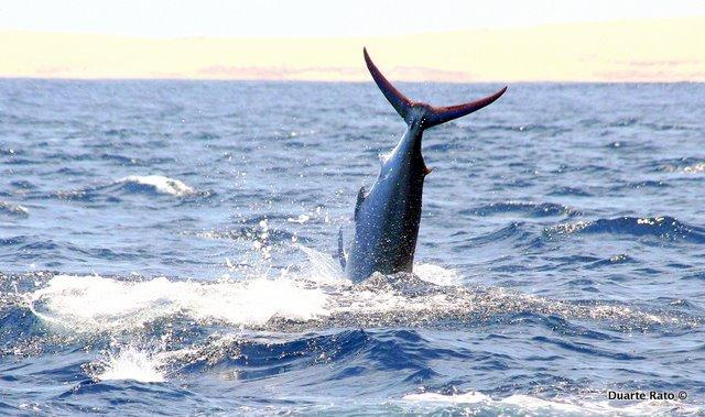 Black Marlin in Flight!