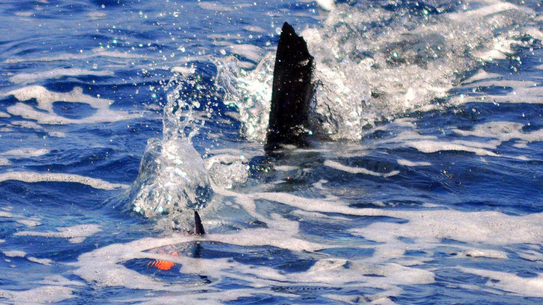 """Circle Hook"" Raises 80+ Sailfish in Guatemala"