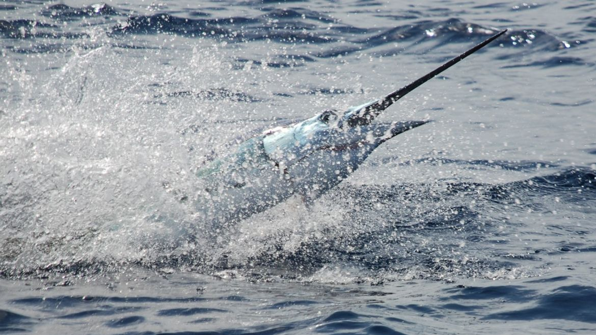 """30+ Sails a Day for """"Swordfish"""" in Isla Mujeres"""
